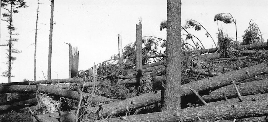 A southern New Hampshire pine forest was entirely blown down in the hurricane of 1938. Photo courtesy of the U.S. Forest Service.