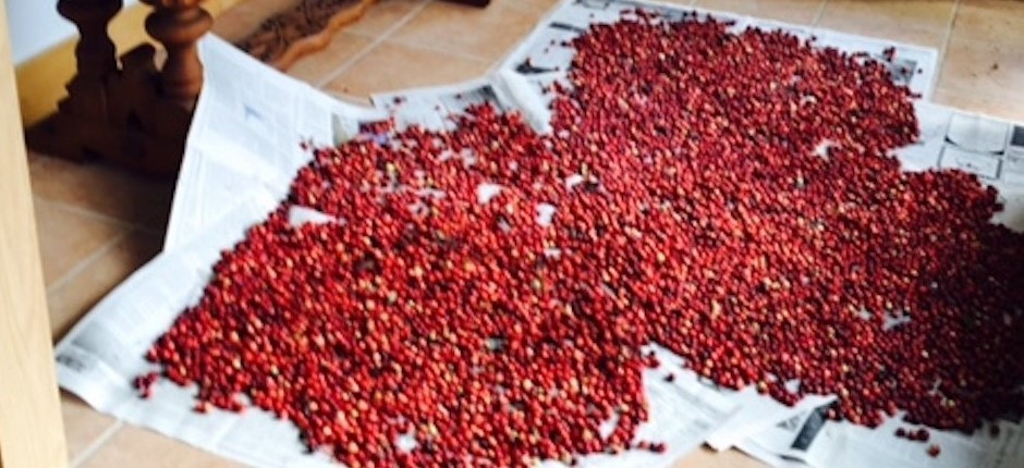 Just-picked cranberries drying on newspaper, the day after a hard rain.  Photo by Beverly Wright.